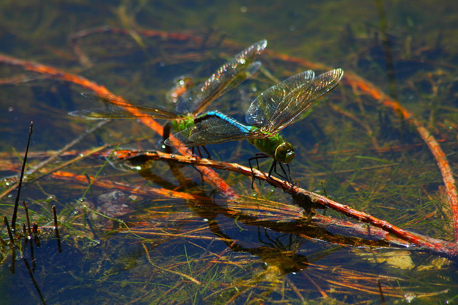 Reflection Of Dragonflies Planting Nymphs Photograph