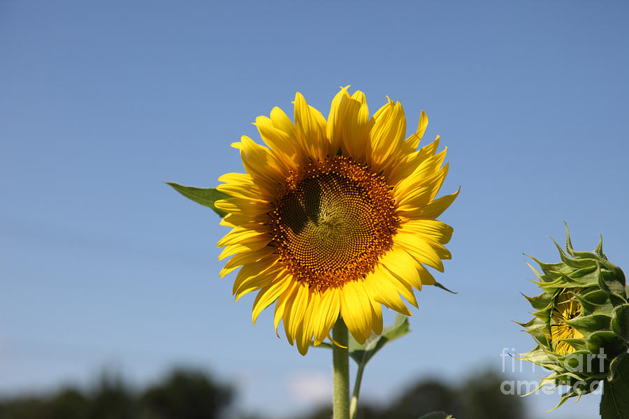 Sunflowers Photograph - United Through Challenge by Amanda Barcon