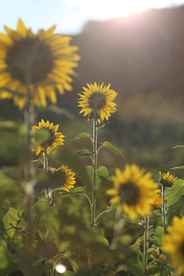 flight 93 state Game Lands 93 09/11/01 9-11 Sunflowers Field field Of Flowers Tribute Sunflower Sun Flare sun Flare Flower Yellow let's Roll Usa United united States America Photograph - United We Stand by Brenda Schwartz