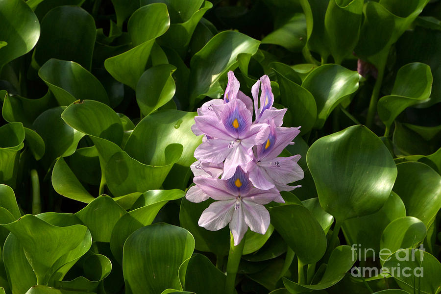 Water Hyacinth Photograph - Unmanageable Beauty The Water Hyacinth by Byron Varvarigos