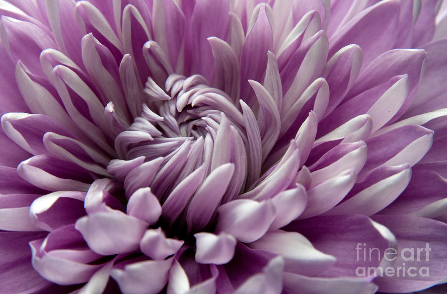 Flower Photograph - Untangling by Dan Holm