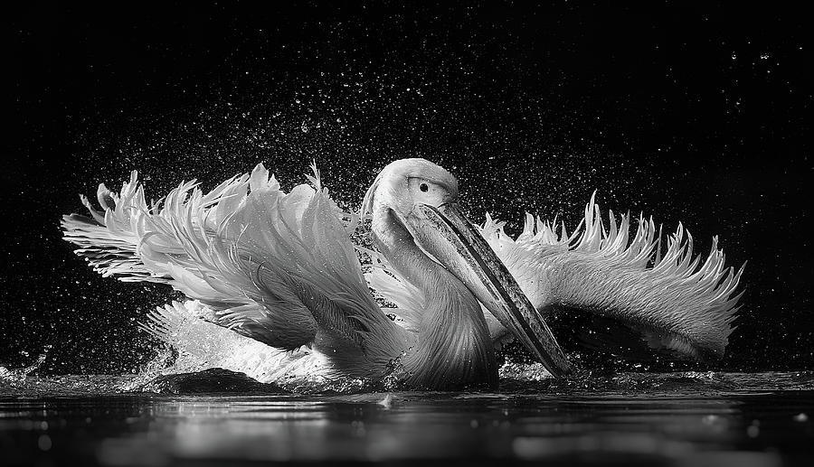 Pelican Photograph - Untitled by C.s. Tjandra