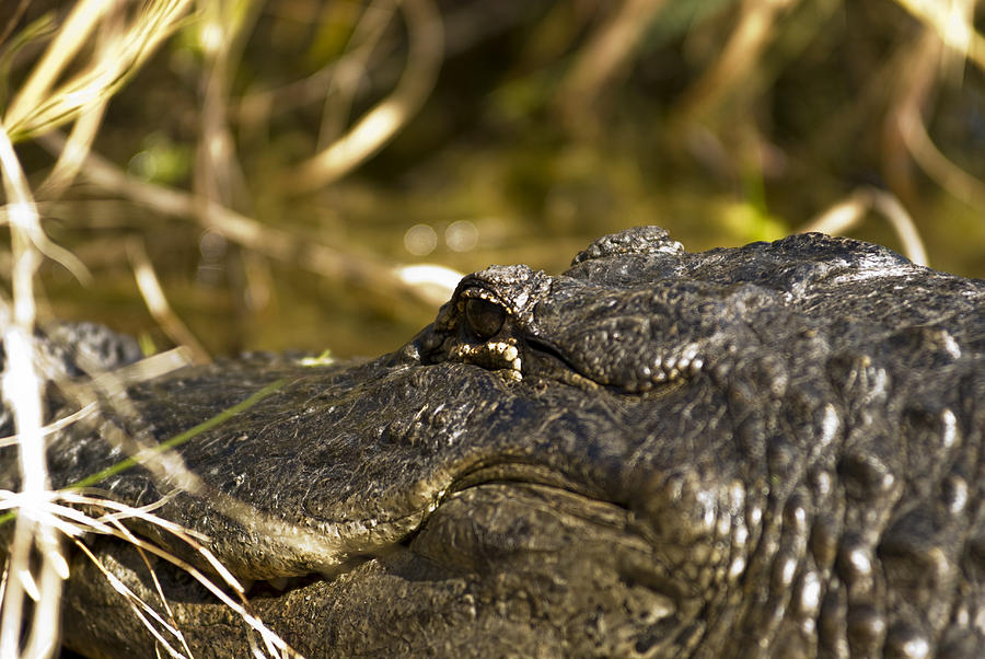 American Alligator Photograph - Up Close And Personal by Frank Feliciano