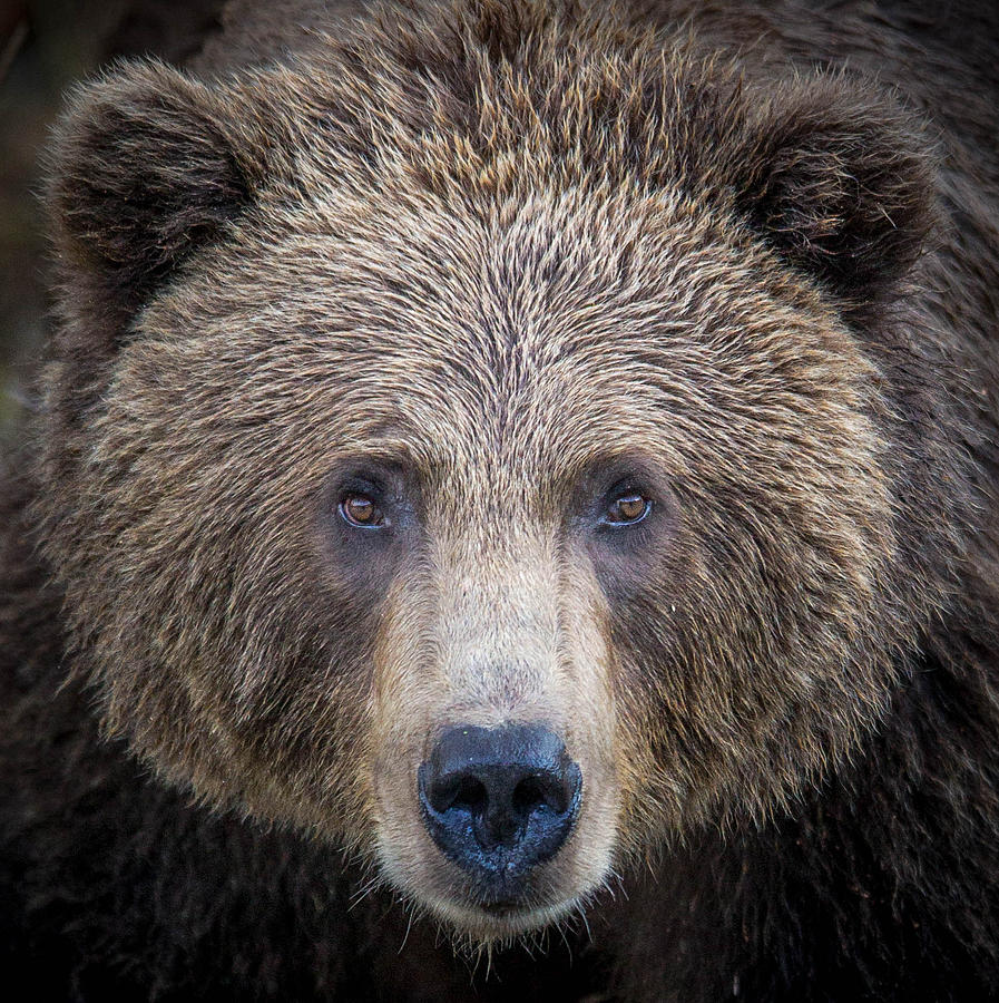 Bear Photograph - Up Close And Personal  by Rob Daugherty