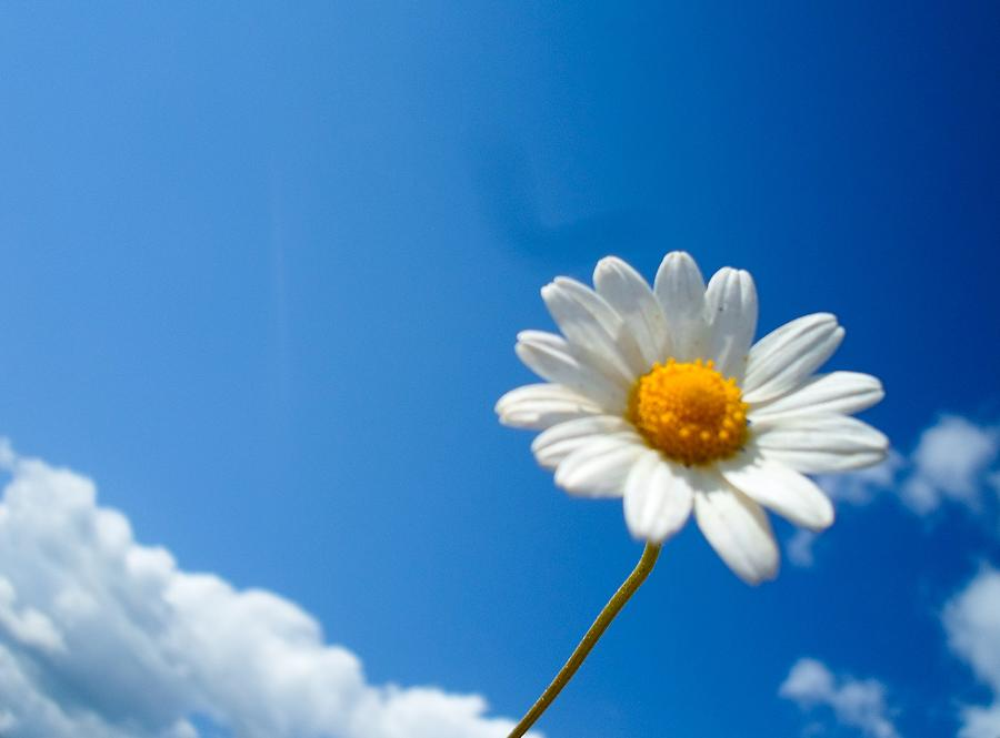 Daisy Photograph - Up In the Sky by Eliza Donovan