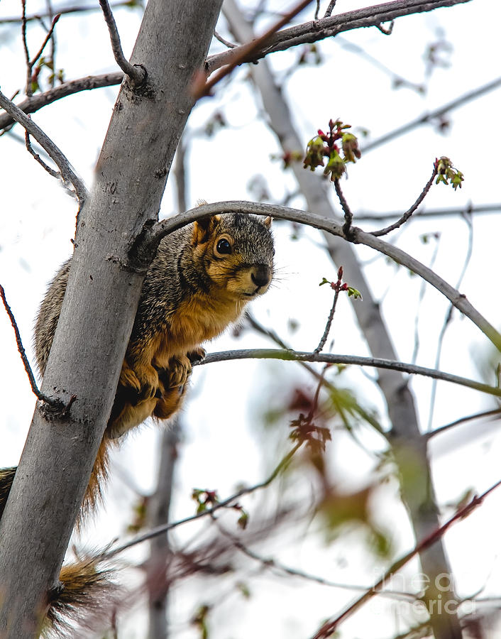 Squirrel Photograph - Up The Tree by Robert Bales