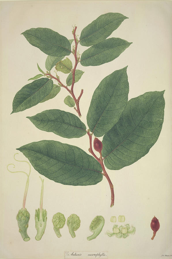 Antiaris Toxicaria Photograph - Upas Tree Leaves by Natural History Museum, London/science Photo Library
