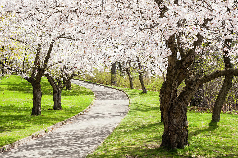 Uphill Climb Under The Cherry Blossoms Photograph by Debralee Wiseberg