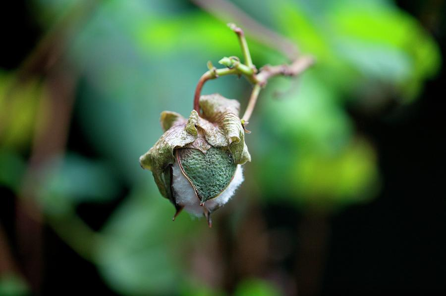 Upland Cotton Photograph - Upland Cotton (gossypium Hirsutum) by Sam K Tran/science Photo Library