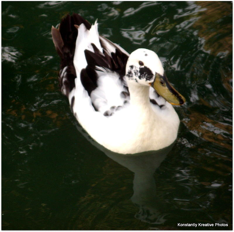 Duck Photograph - Upon Reflection by Misty Herrick