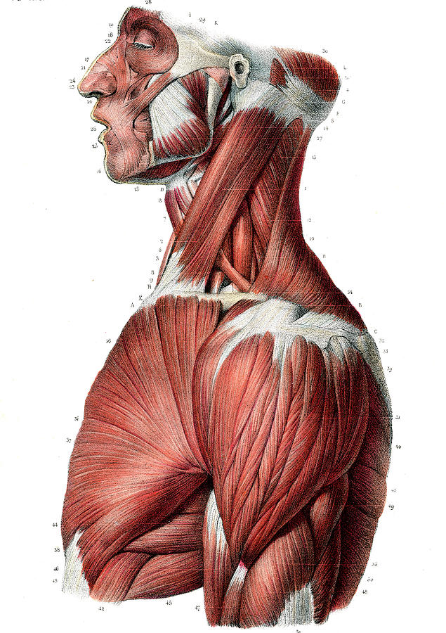 Upper Body Muscles Photograph By Collection Abecasis