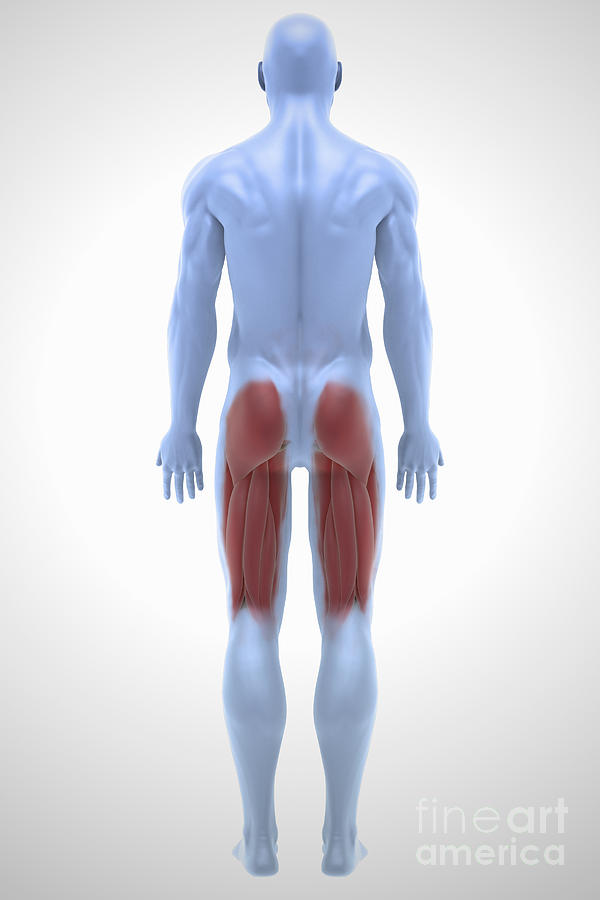 Upper Leg Muscles Photograph By Science Picture Co