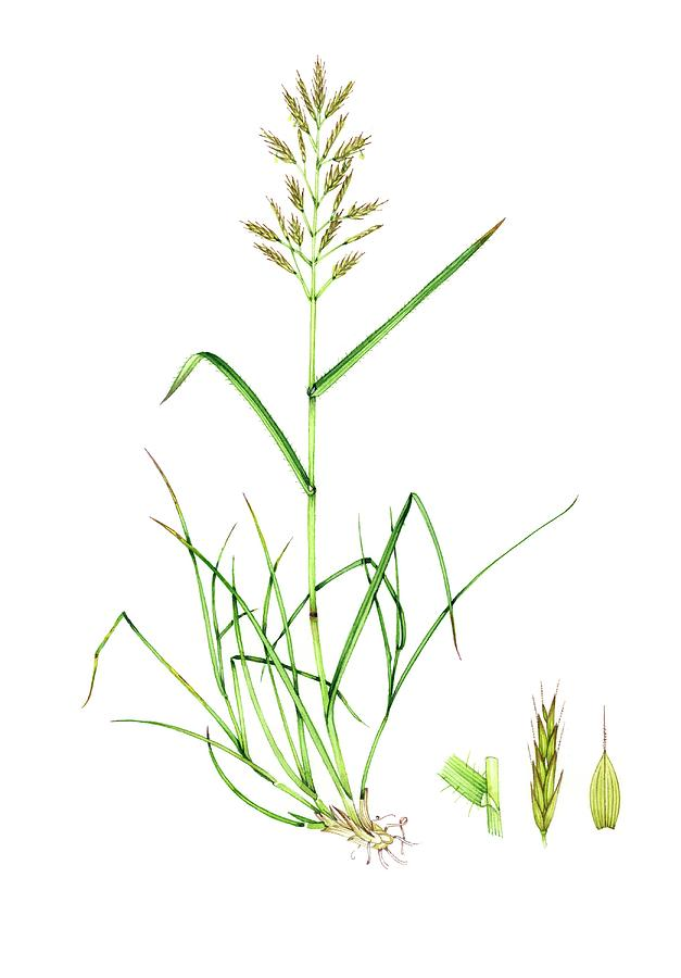 Nobody Photograph - Upright Brome (bromus Erectus) by Lizzie Harper/science Photo Library