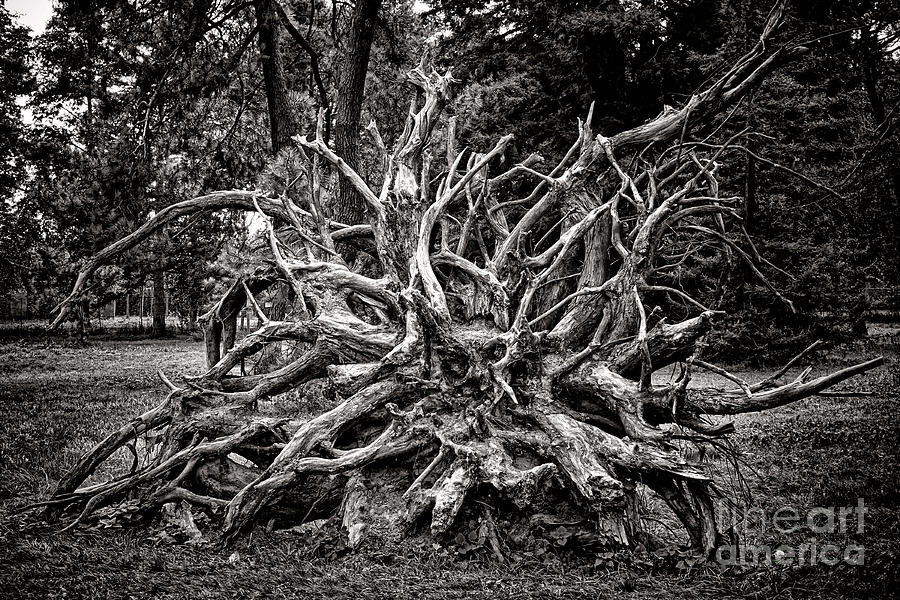 Roots Photograph - Uprooted by Olivier Le Queinec