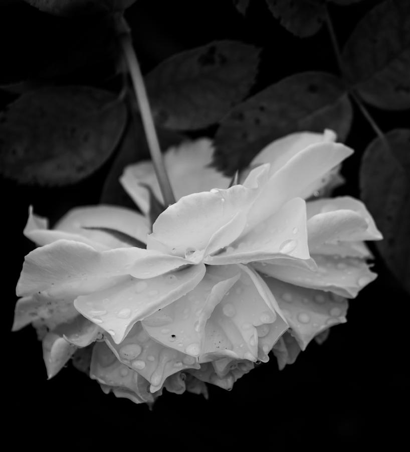 Upside Down Rose Photograph By Gabrielle Harrison