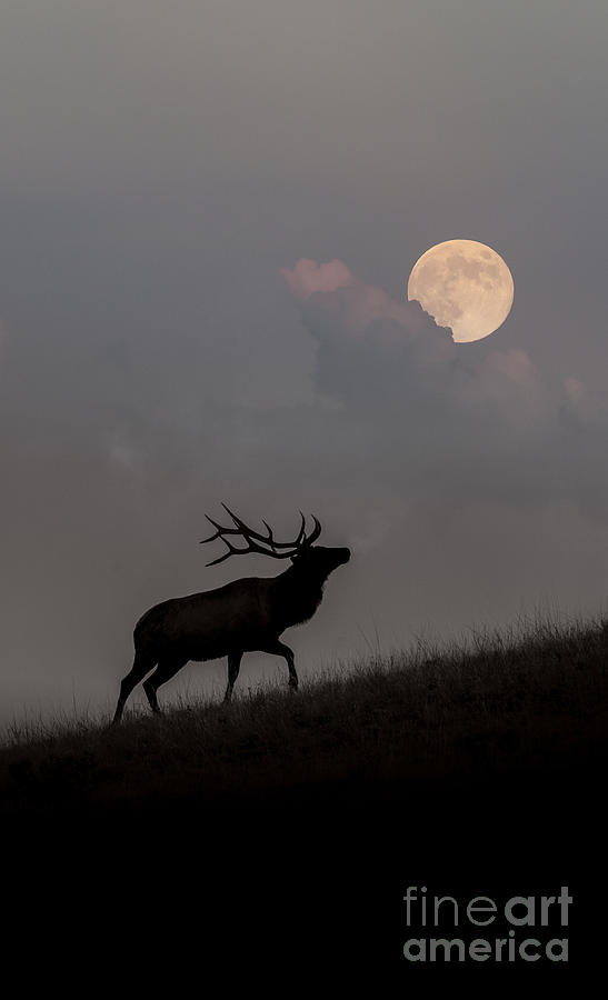 Elk Photograph - Upwardly Mobile - Yellowstone National Park by Sandra Bronstein