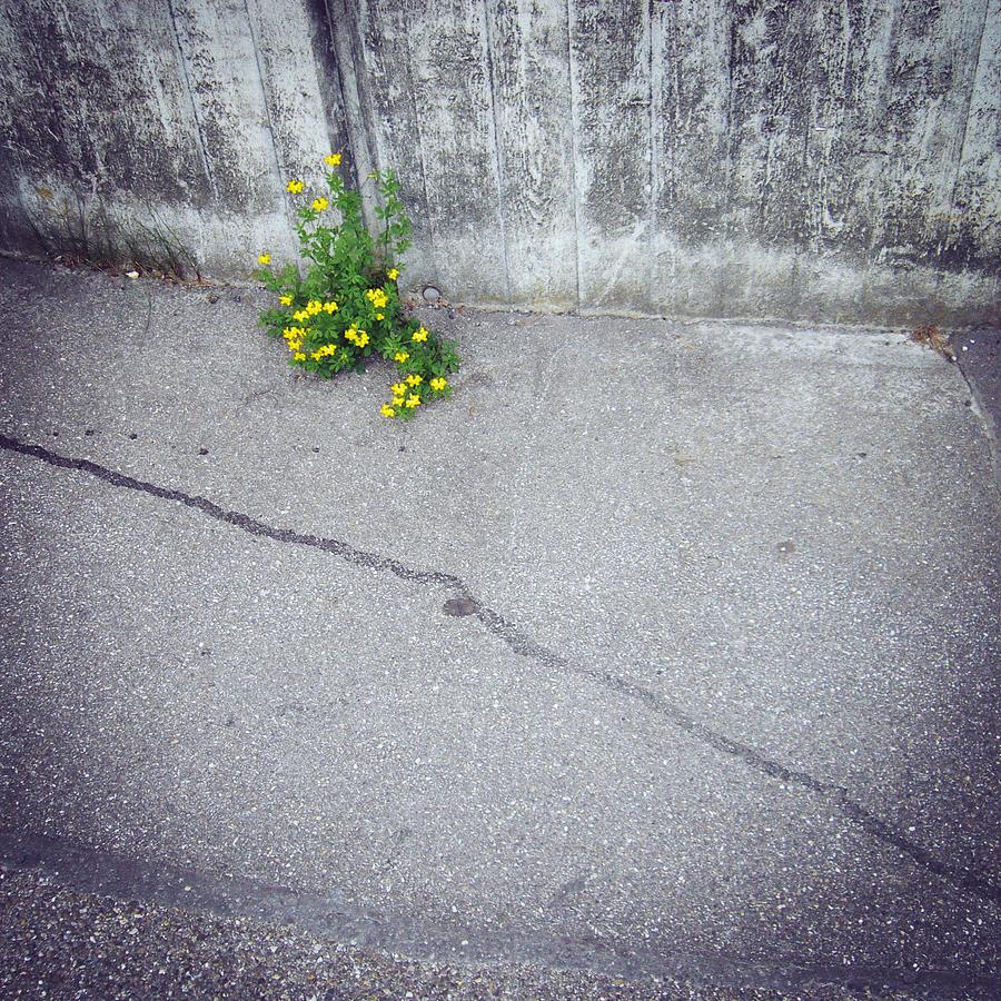 Flower Photograph - Urban flora - yellow flower and grey asphalt by Matthias Hauser