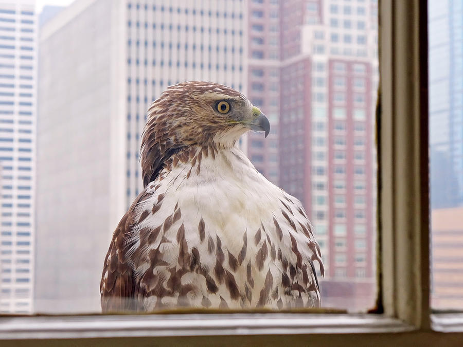 Hawk Photograph - Urban Red-tailed Hawk by Rona Black