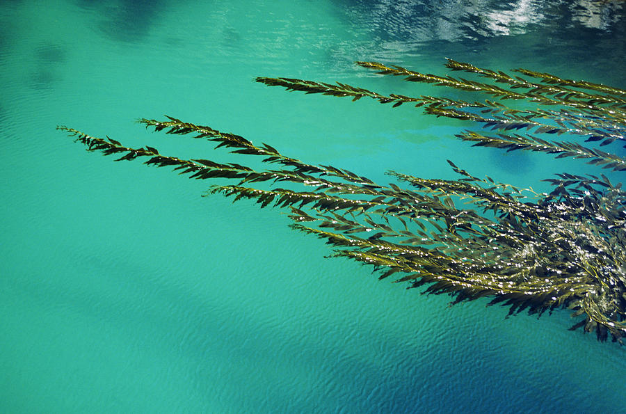 Design Photograph - Usa, California, Seaweed Floating by Larry Dale Gordon