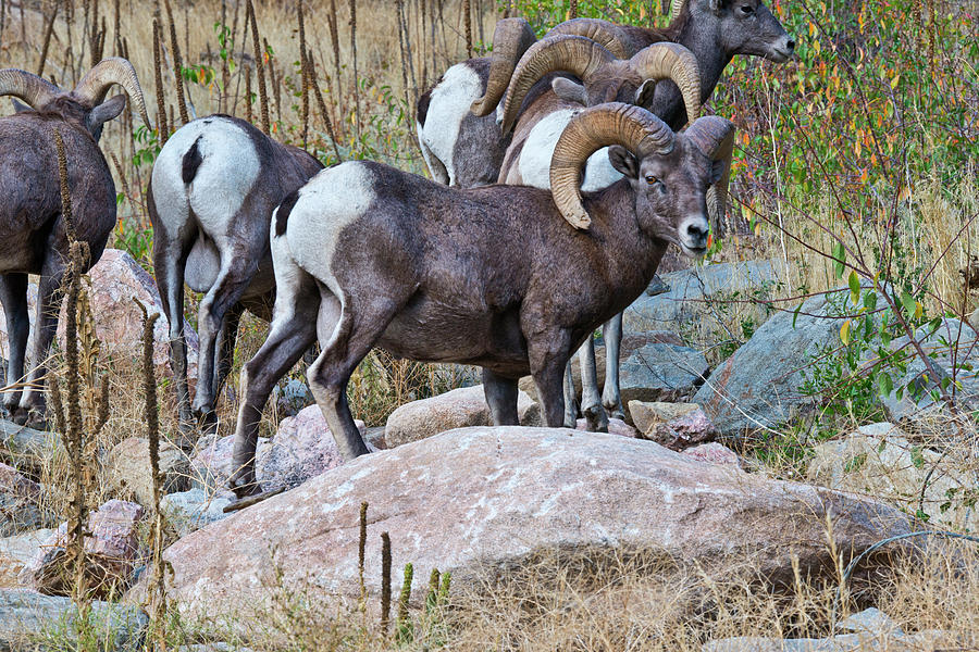 Bighorn Sheep Photograph - Usa, Colorado, Drake, Grazing Group by Bernard Friel