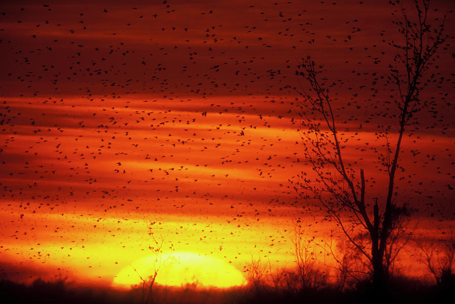 Animal Photograph - Usa, Missouri Large Flock Of Blackbirds by Jaynes Gallery