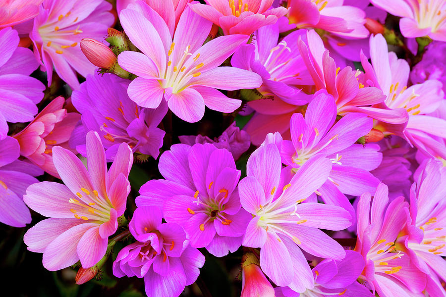Close-up Photograph - Usa, Oregon Columbian Lewisia Flowers by Jaynes Gallery
