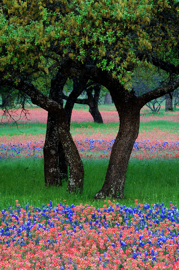 Blue Bonnet Photograph - Usa, Texas, Hill Country, Texas by Jaynes Gallery