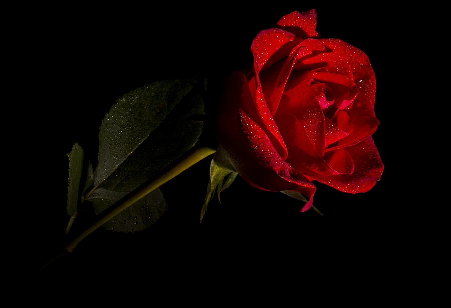 Flowers Photograph - Valentines Day Velvet Rose by Eduard Moldoveanu