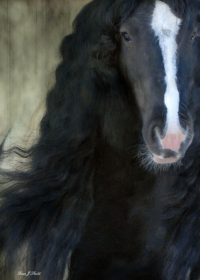 Gypsy Stallion Photograph - Valentino Dreams by Fran J Scott