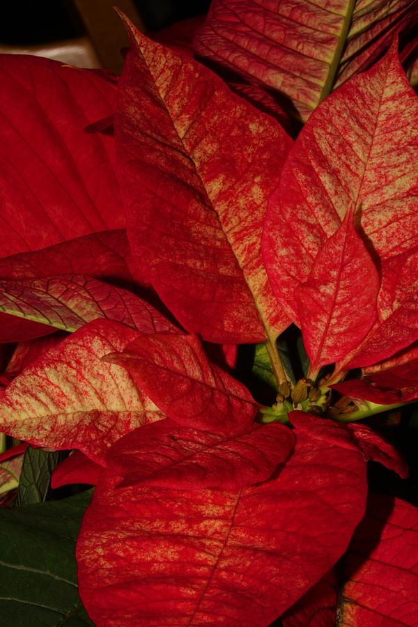 Nature Photograph - Variegated Poinsettia II by Robert Morin