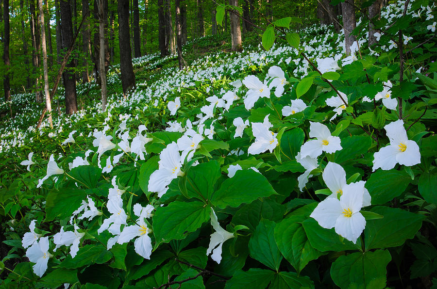 Color Photograph - Vast Trillium by Thomas Pettengill