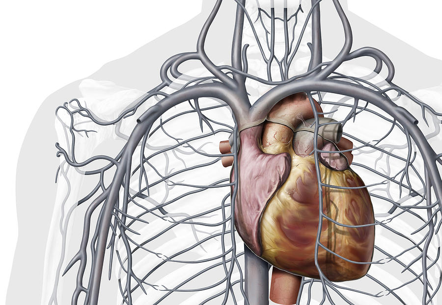 Veins Of The Chest Illustration Photograph By Qa International