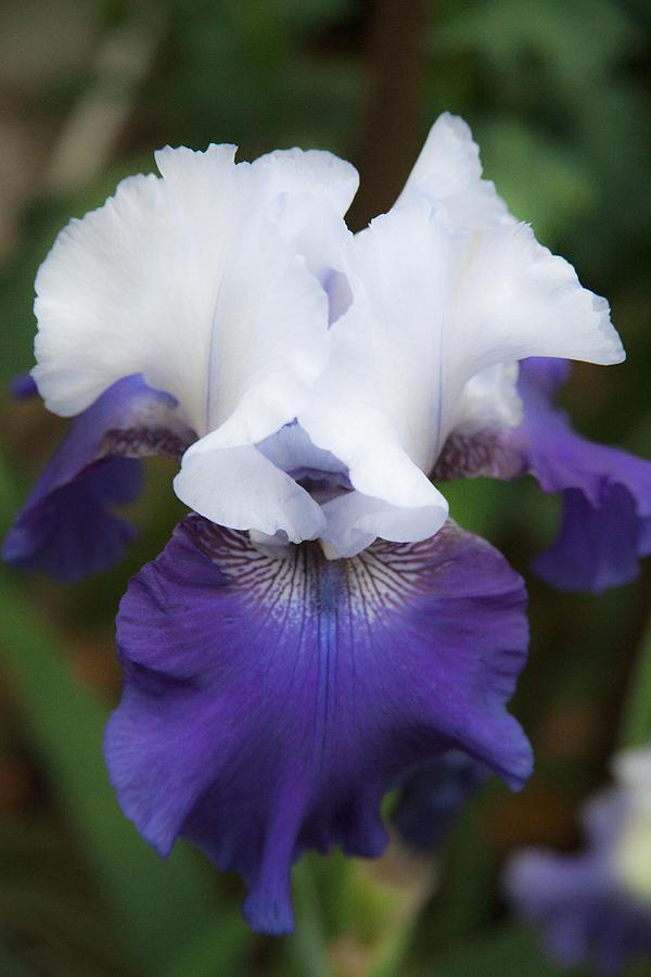 Velvet Purple And White Iris Flower Fine Art Photography