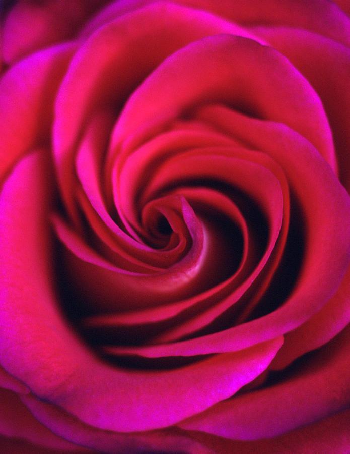 Flowers Photograph - Velvet Rose by Kathy Yates