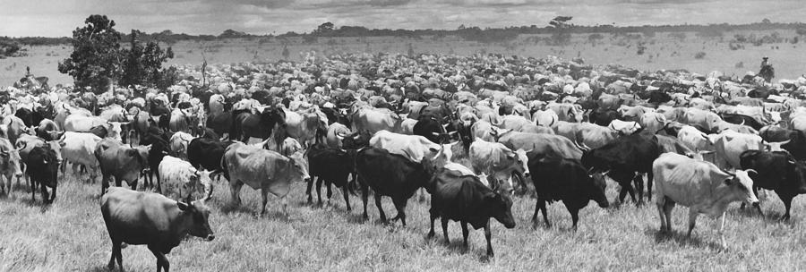 Retro Images Archive Photograph - Venezuela Cattle Round-up  by Retro Images Archive