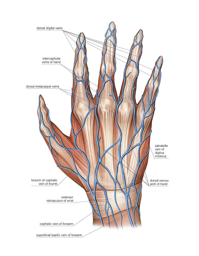 Venous System Of The Hand Photograph By Asklepios Medical Atlas