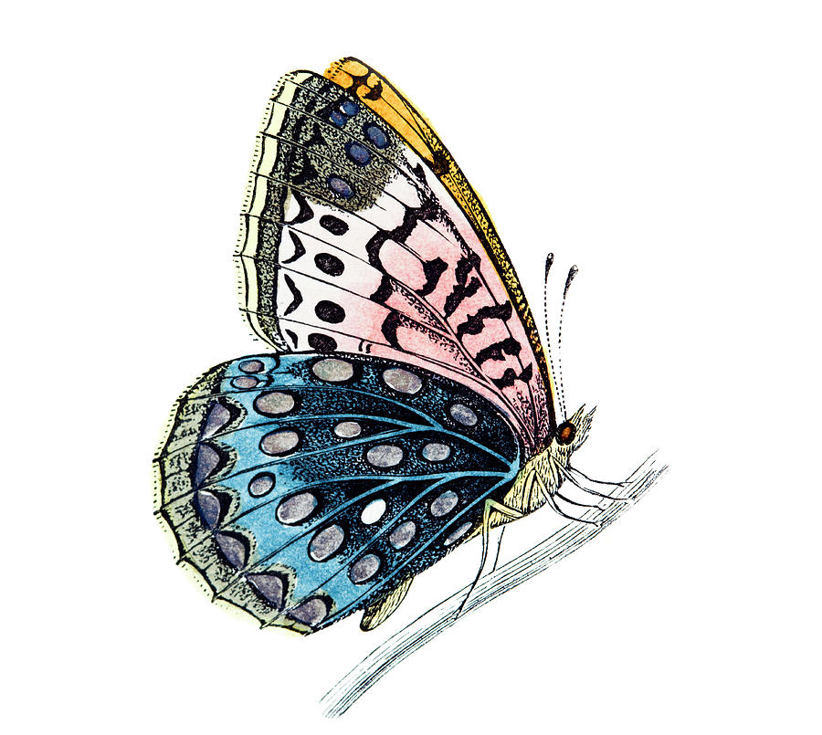 Venus Fritillary Butterfly Digital Art by Andrew howe