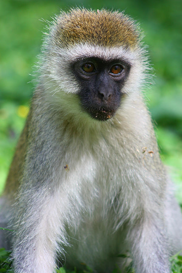 Vervet Monkey Photograph