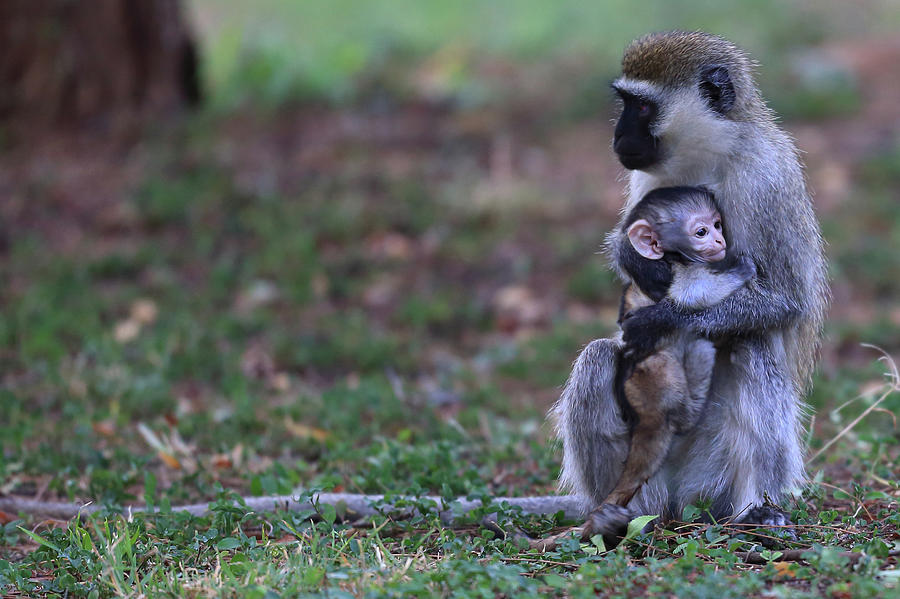 Vervet Mother With Baby Photograph by Manoj Shah