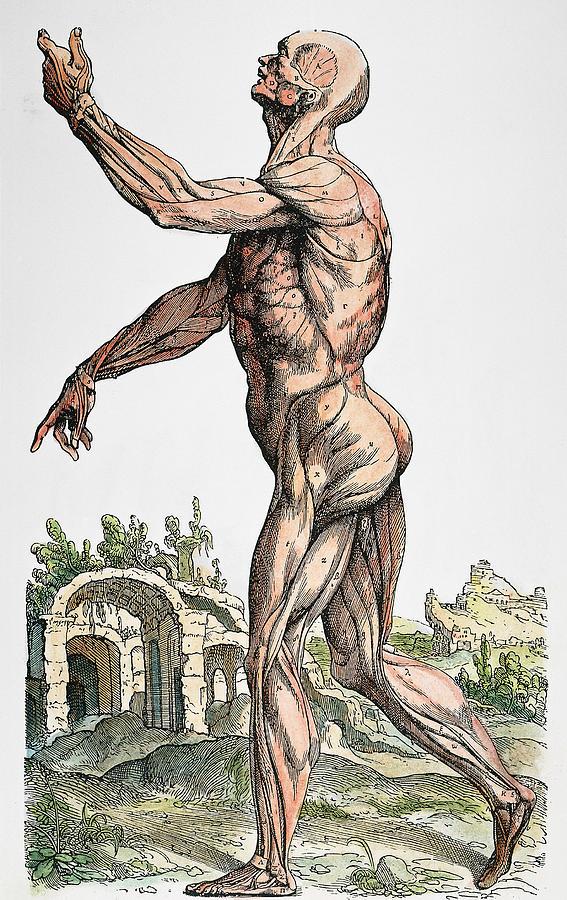 1543 Photograph - Vesalius: Muscles 02, 1543 by Granger