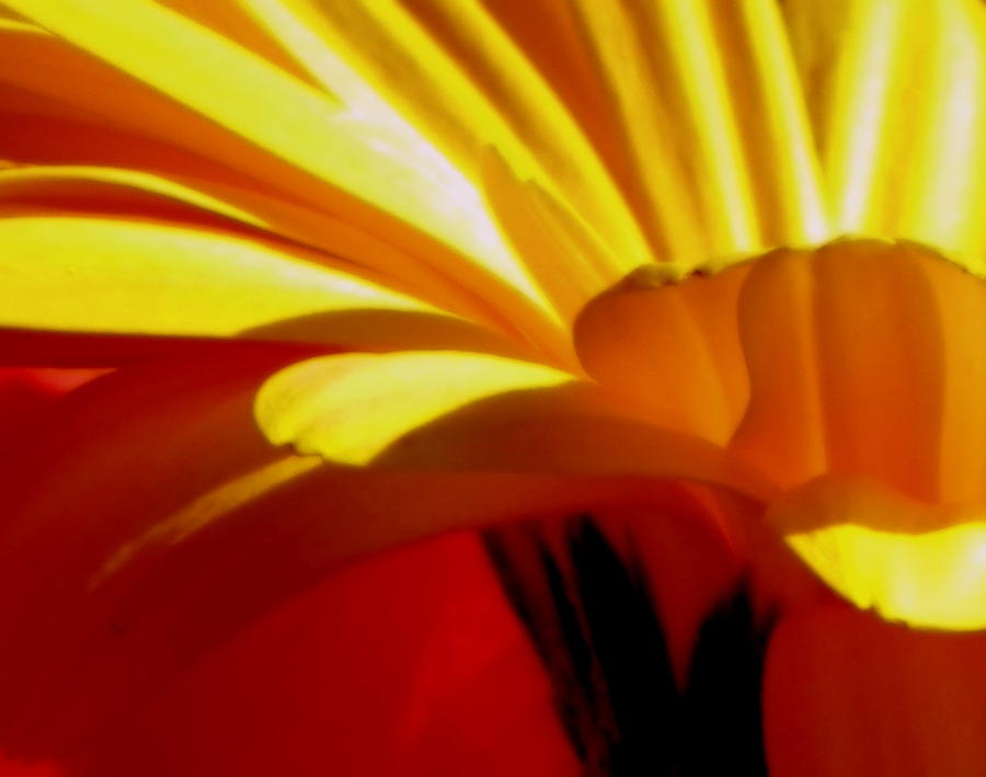 Flower Photograph - Vibrance  by Karen Wiles