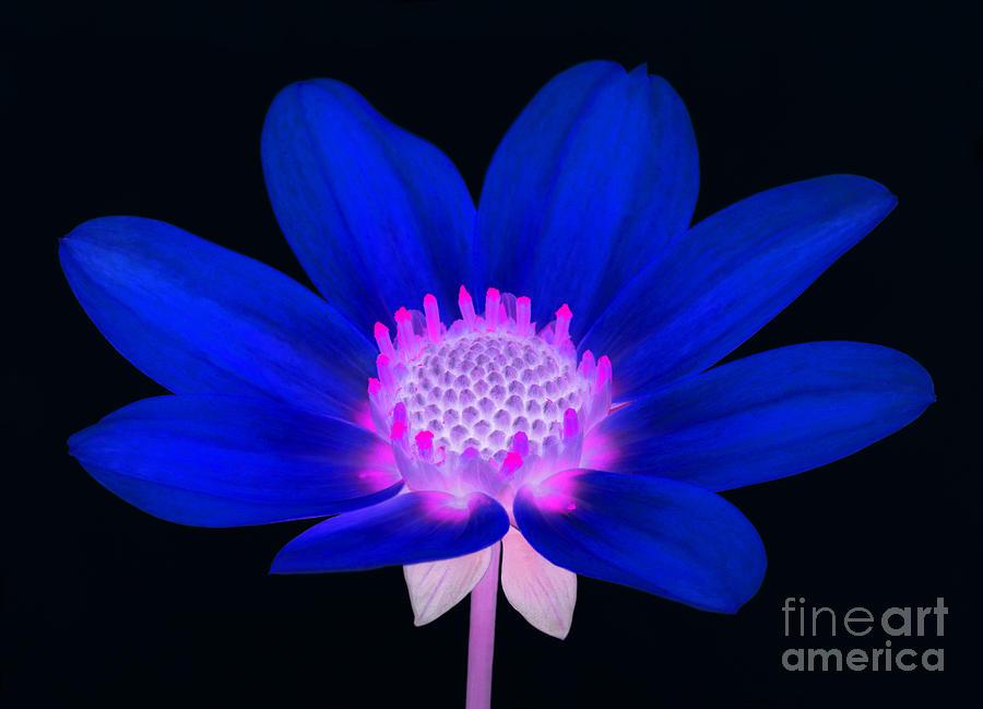 Dahlia Photograph - Vibrant Blue Single Dahlia With Pink Centre On Black. by Rosemary Calvert