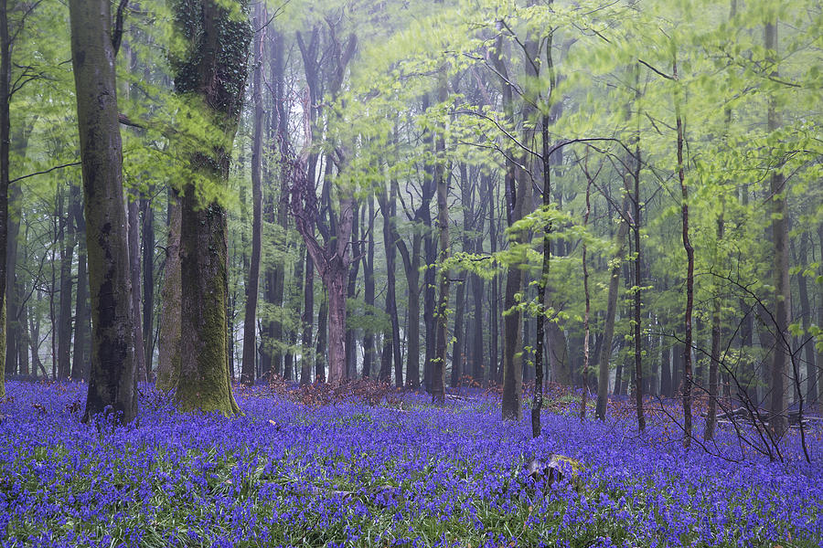 Vibrant Bluebell Carpet Spring Forest Foggy Landscape Photograph By Matthew Gibson