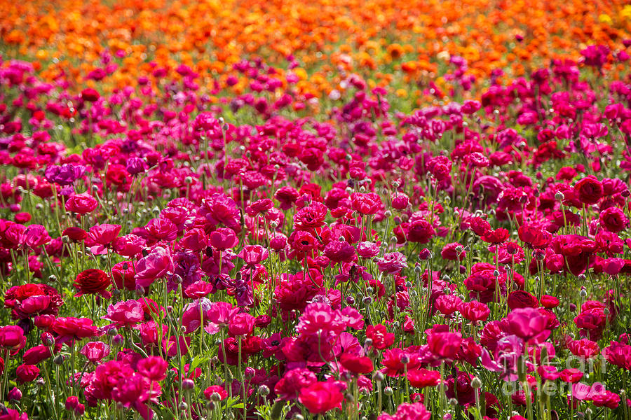 Nature Photograph - Vibrant Flower Field by Julia Hiebaum