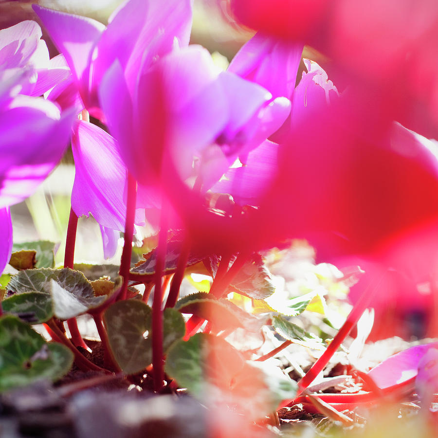 Vibrant Magenta Cyclamen In Bloom Photograph by Erika Pino