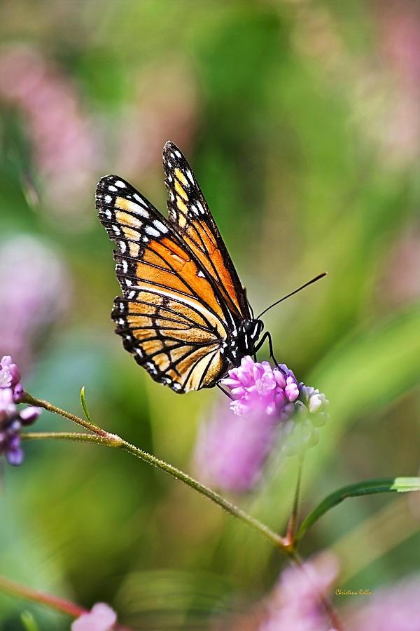 Viceroy Photograph - Viceroy Butterfly by Christina Rollo