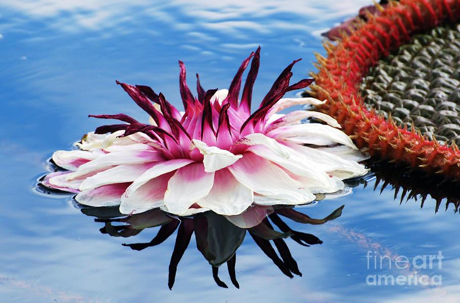 Victoria Amazonica Flower by Scott D Welch