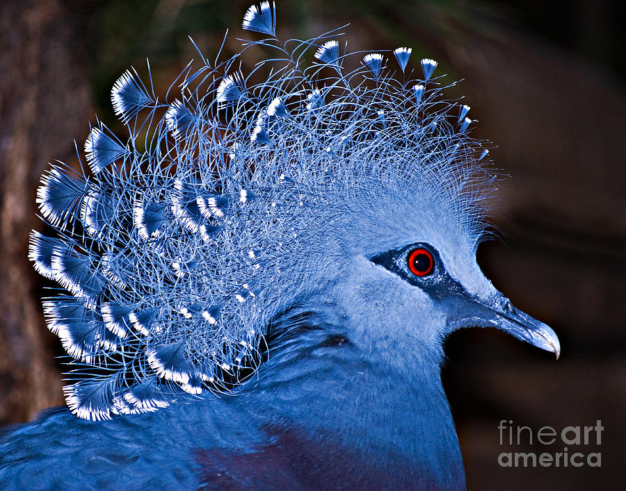 Victoria Crowned Pigeon Photograph By Dianne Paul