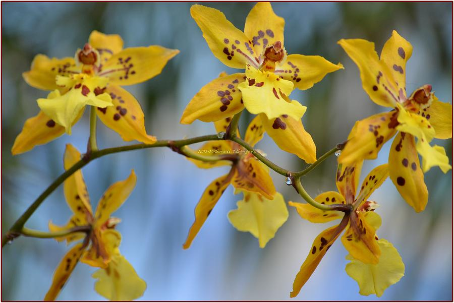 Orchids Photograph - Victorian Exotic Blooms  by Sonali Gangane
