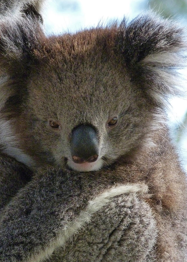 Koala Photograph - Victorian Koala by Margaret Saheed